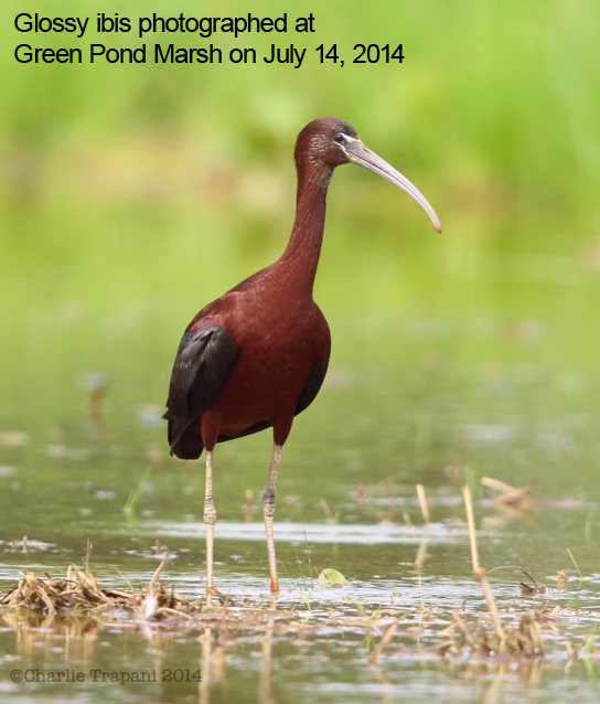 Glossy ibis photographed at Green Pond Marsh on July 14, 2014